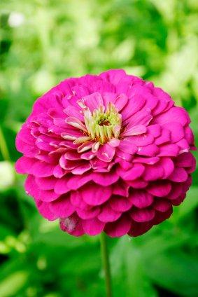 Cinije se mogu naći u velikom broju boja i oblik cvjeta. Latice su poredane jednoredno ili višeredno.