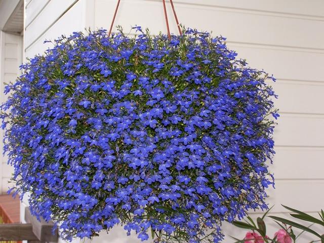 Lobelija je idealna biljka i za vrt i za balkon.