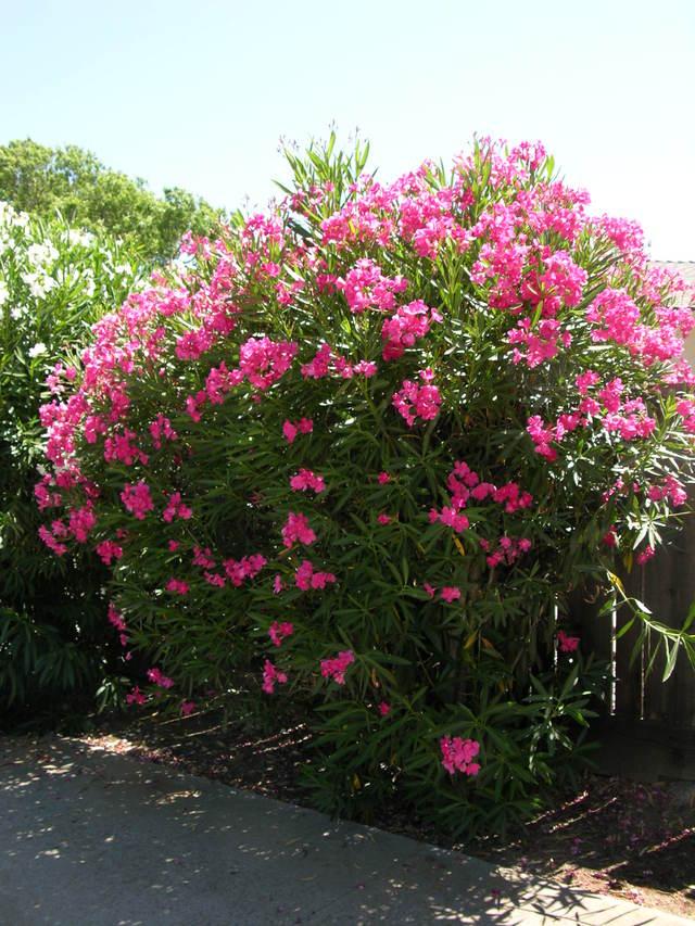Cvjetajuće grmlje za vaš vrt  Uredite Dom