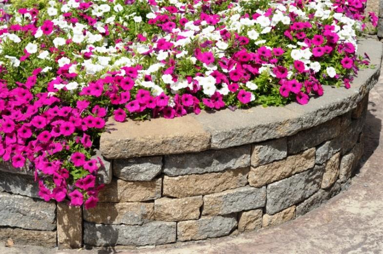 Petunije se mogu naći u velikom broju boja. Napravite cvjetni tepih.