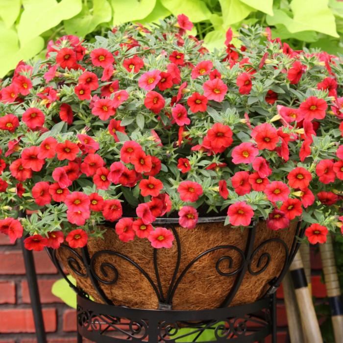 Svake godine se pojavljuju nove izdržljivije sorte petunija i nove boje.