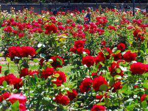 Da li sve znate o ružama?  Uredite Dom