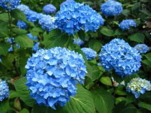 Plava hortenzija.