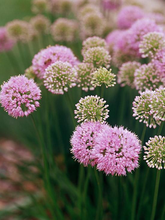 Allium ili ukrasni luk.