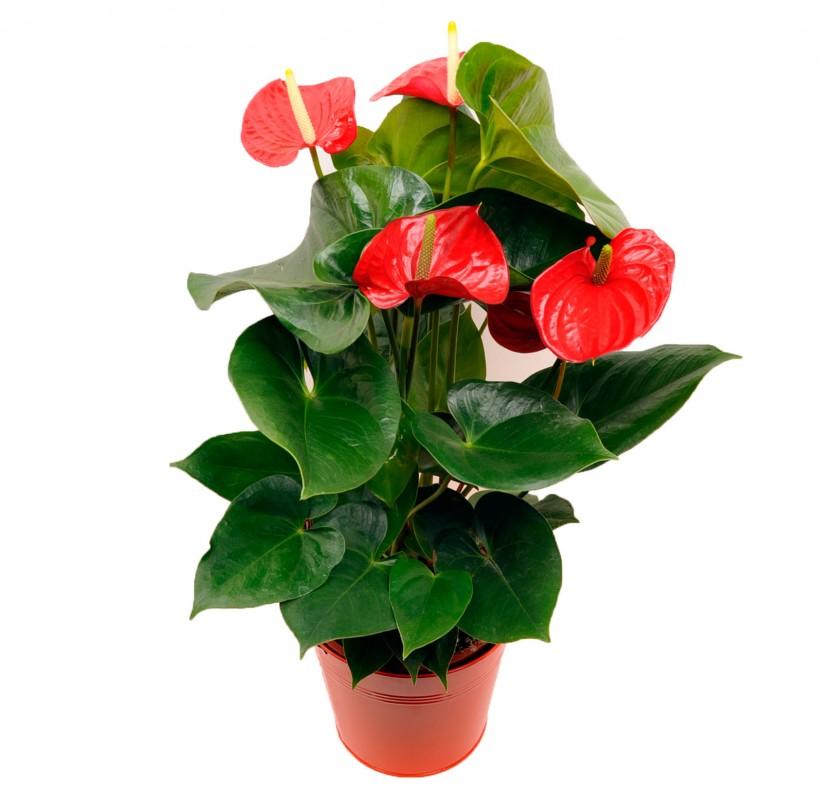 Najljepše cvjetajuće sobne biljke   Uredite Dom