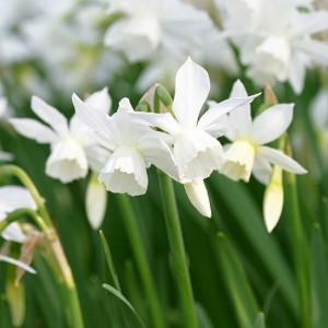 Narcisi – vjesnici proljeća koji se sade u jesen  Uredite Dom