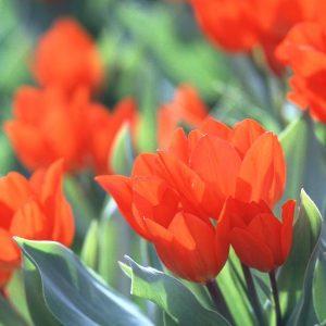 Fusilier_tulipan