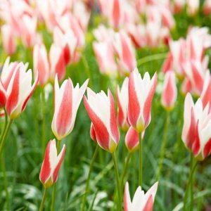Lady_Jane_tulipan