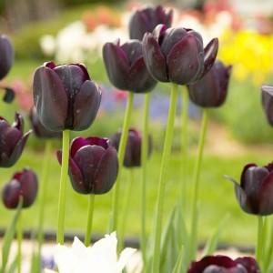 queen_of_the_night_tulipan