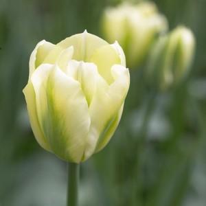 spring_green_tulipan