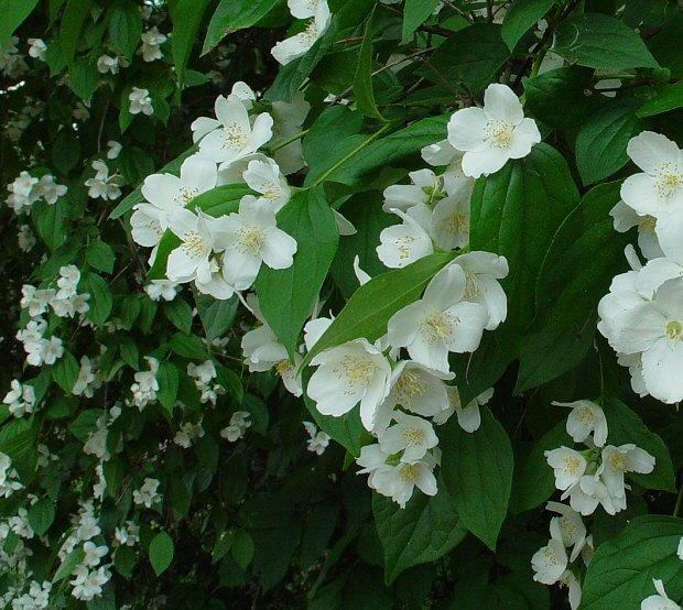 Najljepše grmlje koje cvjeta u proljeće – prvi dio  Uredite Dom