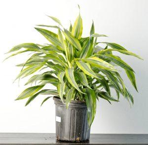 Sobne biljke koje se lako uzgajaju  Uredite Dom