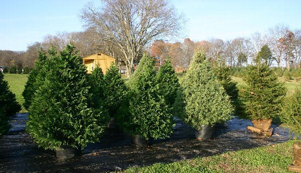 Živo božićne drvce