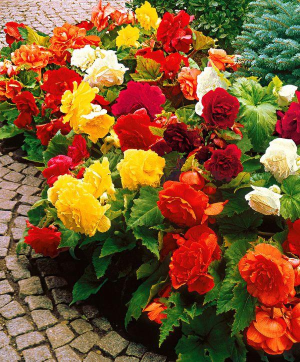 Begonija, idealno cvijeće za balkon i vrt  Uredite Dom