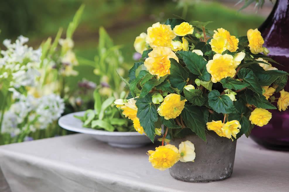 Begonija,  idealno cvijeće za balkon i vrt