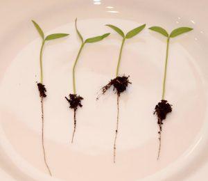 Razmnožavanje cvijeća sjemenom  Uredite Dom