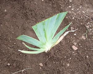 Razmnožavanje irisa ili perunike  Uredite Dom