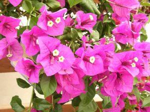 Uzgoj bugenvilije, ružičaste penjačice  Uredite Dom