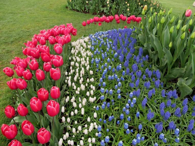 Grozdasti zumbul ili preslica za prelijepe vrtne bordure  Uredite Dom