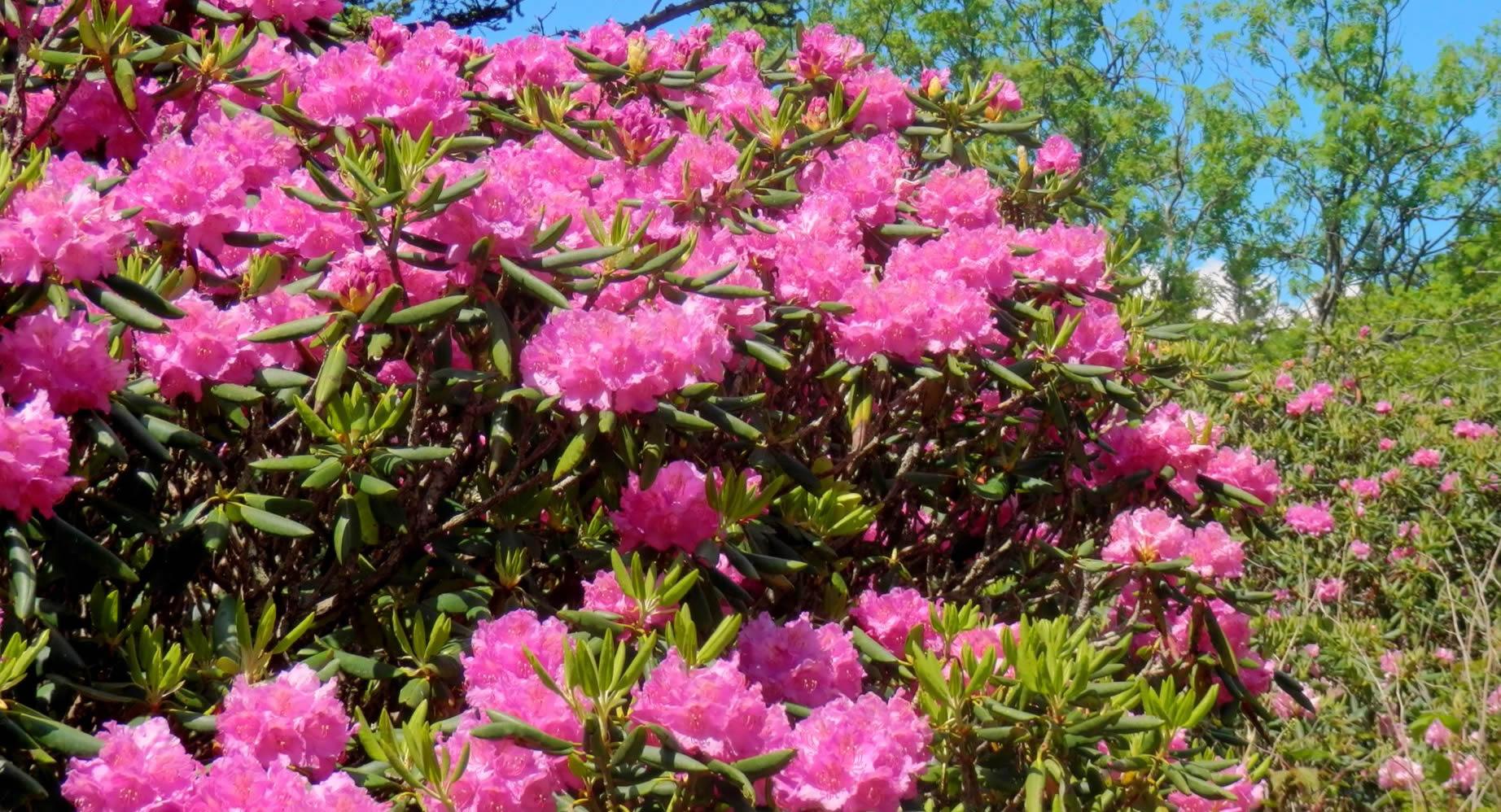 Rhododendron ferrugineum ili alpska ruža, ukras sjenovitog vrta